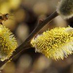Весенний медосбор: помощь пчелам